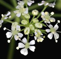 Как выглядит болиголов фото. Все о болиголове: описание растения и особенности его лекарственного применения