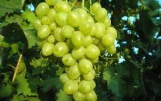 Виноград малиновый супер описание сорта фото отзывы. Супер Экстра — один из сверхранних сортов винограда от простого шахтёра из Ростова