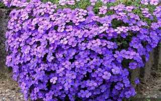 Аубреция из семян в домашних условиях. Обриета, или аубреция: выращивание из семян в домашних условиях