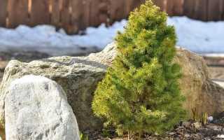 Декоративные ели для сада. Декоративные ели: описание видов и сортов
