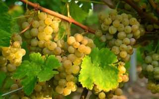 Алиготе сорт винограда характеристика. Виноград Алиготе: особенности выращивания