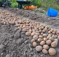 Киви картофель характеристика. Таинственный овощ — картофель Киви