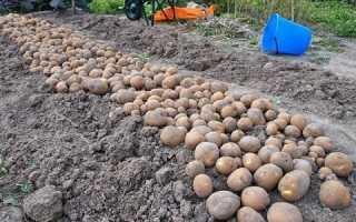 Картошка сорт киви описание. Характеристика картофеля сорта Киви