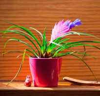 Bromelia уход в домашних. Тропическая красавица бромелия: уход в домашних условиях