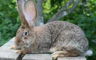 Как разводить кроликов на даче. Кролики на даче: как выбрать породу и как организовать дачное содержание кроликов