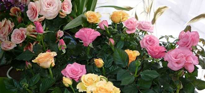 Бенгальские розы в домашних условиях. Роза комнатная — уход в домашних условиях, фото и описание видов