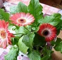 Как вырастить герберу из семян в домашних. Гербера из семян. Личный опыт. Продолжение…