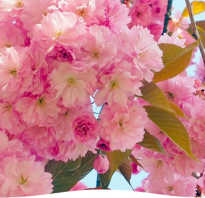 Как вырастить декоративную сакуру в домашних условиях. Главное украшение сада: как вырастить сакуру?