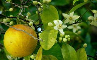 Грейпфрут дерево в домашних условиях. Как вырастить грейпфрут из косточки дома. И будет ли он давать плоды?