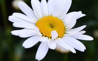 Виды ромашки. Наиболее распространенные виды ромашек и их полезные свойства