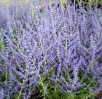 Perovskia atriplicifolia little spire. Перовския лебедолистная Blue Spire