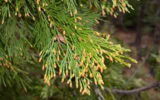 Кипарисовики виды и сорта с фото. Кипарисовик – ароматное дерево в саду и дома