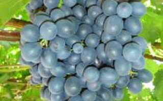 Виноград муромский описание. ФОРУМ ВИНОГРАД