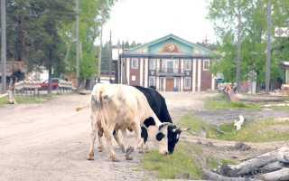 Выпас коров. За выпас коров вне пастбищ предложили штрафовать