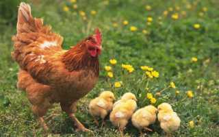 Как определить возраст курицы. Как безошибочно определить возраст курицы несушки