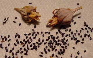 Выращивание платикодона из семян в домашних условиях. Можно ли платикодон выращивать как комнатное растение?