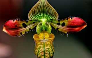 Башмачок цветок фото. Венерин башмачок (Paphiopedilum): описание видов, уход и выращивание
