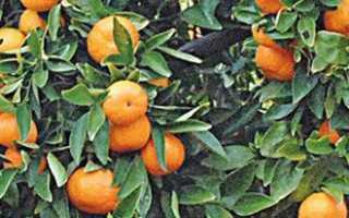 Выращивание мандарина в открытом грунте. Мандарин: посадка и уход в саду