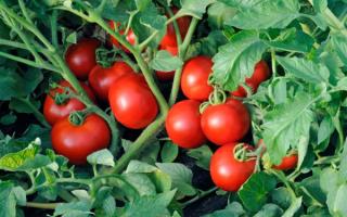 Высокоурожайные сорта томатов для теплиц на урале. Сорта томатов для урала отзывы