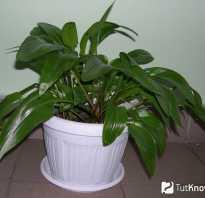 Drimiopsis maculata. Дримиопсис — описание. Уход за Дримиопсисом в домашних условиях.