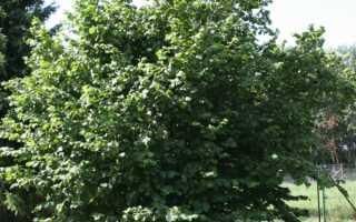 Как цветет фундук. Дерево лещина обыкновенная