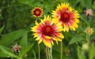 Гайлардия крупноцветковая фото. Выращивание и размножение яркой гайлардии