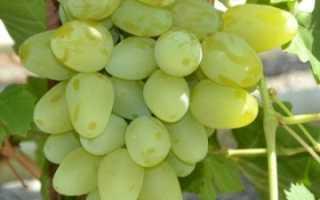 Виноград бажена описание сорта фото отзывы видео. Виноград «Бажена»: описание и особенности сорта