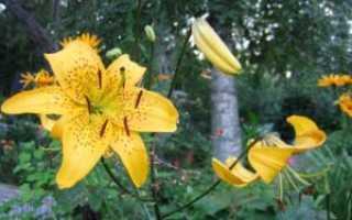 Как подготовить луковицы лилий к посадке осенью. Лилия: посадка осенью в открытый грунт, уход зимой