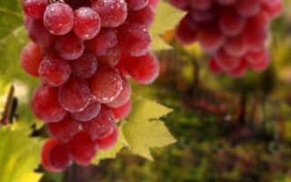Как прикопать виноград для размножения осенью. Как осуществляется размножение девичьего винограда отводками весной