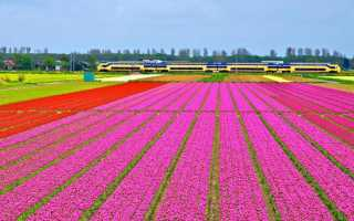 Где растут лучшие тюльпаны. Страна тюльпанов — лидер цветочного бизнеса