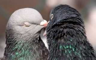 Как выходить птенца голубя. Как выкормить птенца голубя в домашних условиях?