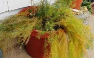 Аспарагус желтеет и осыпается. Почему у аспарагуса желтеют и осыпаются листья