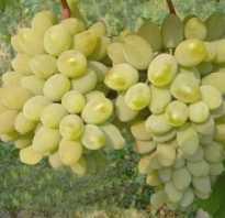 Виноград тимур описание сорта фото отзывы видео. Описание сорта винограда Тимур