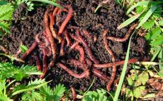 Калифорнийские черви разведение в домашних условиях. Красный калифорнийский червь. Выращивание и разведение