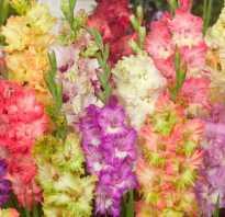 Гладиолусы на урале. Гладиолусы на Урале: выбор сорта и особенности агротехники