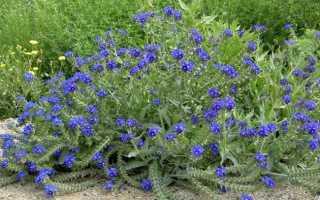 Анхуза выращивание из семян. Анхуза или воловик выращивание и уход Популярные сорта Фото и видео