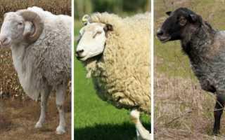 Бараны содержание и кормление. Особенности содержания и выращивания овец в домашних условиях