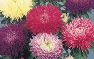 Астра однолетнее или многолетнее растение. 7 лучших сортов многолетней астры