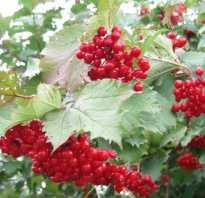 Как посадить калину красную. Калина: размножение, посадка и уход