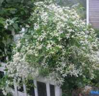 Клематис мелкоцветковый белый обрезка. Жгучий мелкоцветковый белый клематис: что это за растение и как за ним ухаживать?