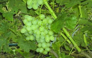 Виноград баклановский описание сорта фото отзывы. Морозостойкий виноград Восторг: в восторге ли садоводы?
