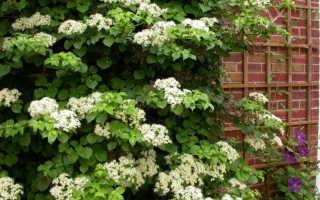 Hydrangea petiolaris уход и посадка. Гортензия черешковая: описание и особенности ухода