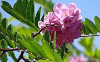 Акация осенью описание. Акация розовая: посадка и размножение растения