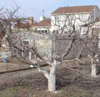 Как омолодить старую яблоню осенью видео. Интересуетесь, как омолодить старую яблоню? Советы экспертов помогут разобраться