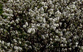 Как посадить иргу осенью видео. Ягодный кустарник ирга: посадка и уход, выращивание и обрезка.
