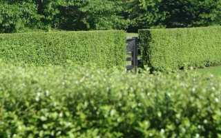 Живая изгородь из тиса фото. Из чего и как сделать живую изгородь