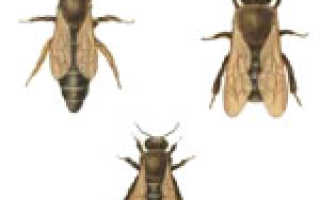 Каких пчел называют трутнями. Воспроизводство пчелиного потомства