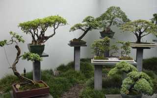 Как вырастить семена китайского дерева.