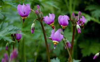 Додекатеон цветок. Додекатеон: посадка и уход за растением