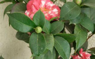 Камелия розовая. Самые красивые виды и сорта камелии